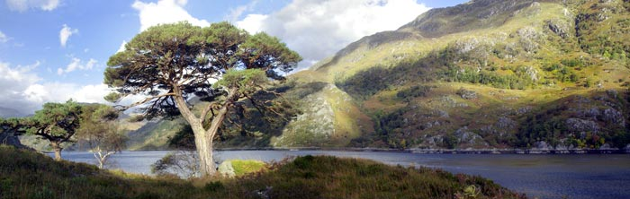 Pine and Loch in North West Scotland